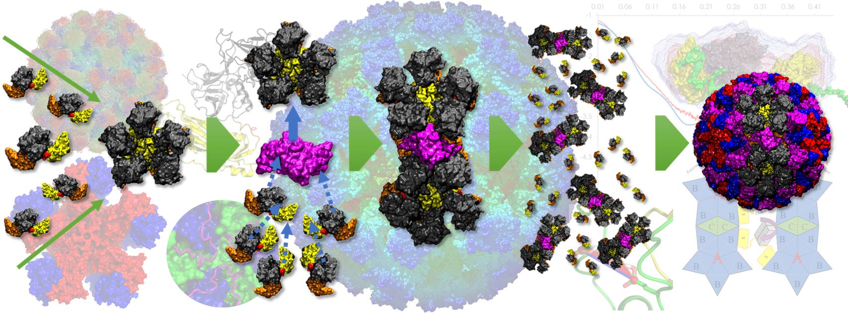 Norovirus capsid assembly hypothesis